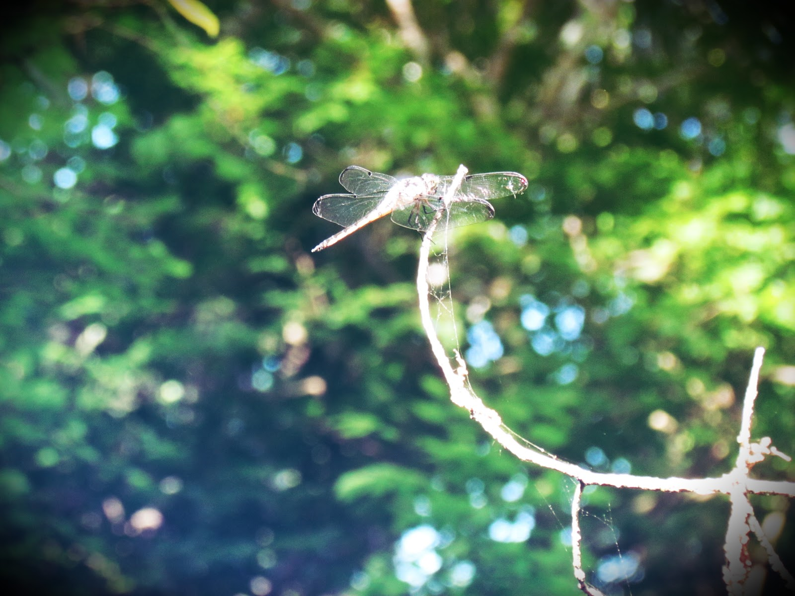 A dragonfly on a tree branch on a hiking trail, the dragonfly is a symbol of good luck