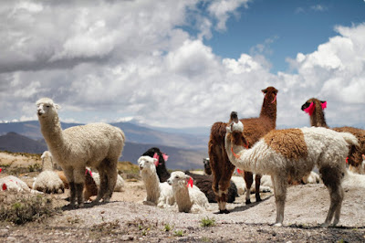Disadvantages of Alpaca Wool