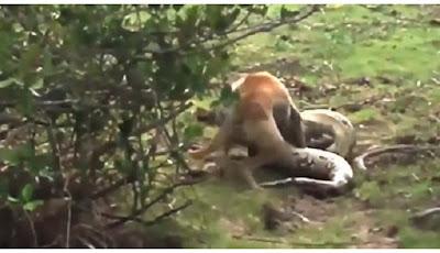Piton mencoba memakan anjing