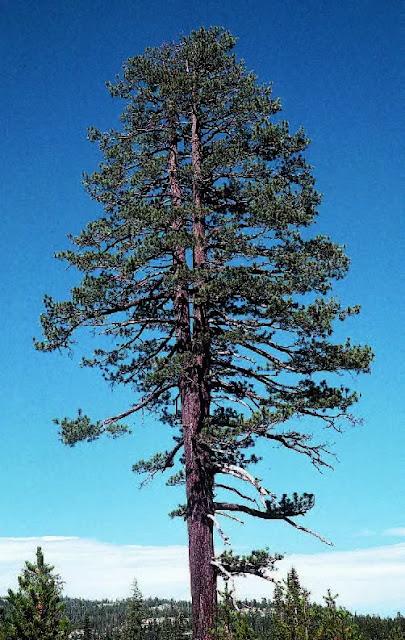Gambar Pohon pinus Jeffrey. Batang pohon ini, dimana biasanya tunggal menjadi bercabang karena pembuangan tunas terminal sebelumnya.