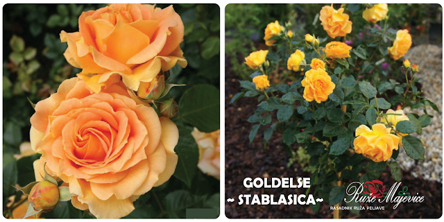 Goldelse - žuta  kuglasta ruža stablašica