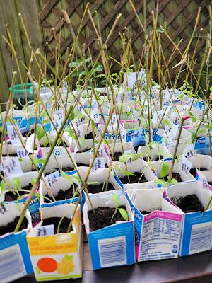 plants in milk cartons