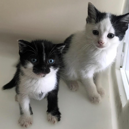 two black-and-white kittens in a cat pen