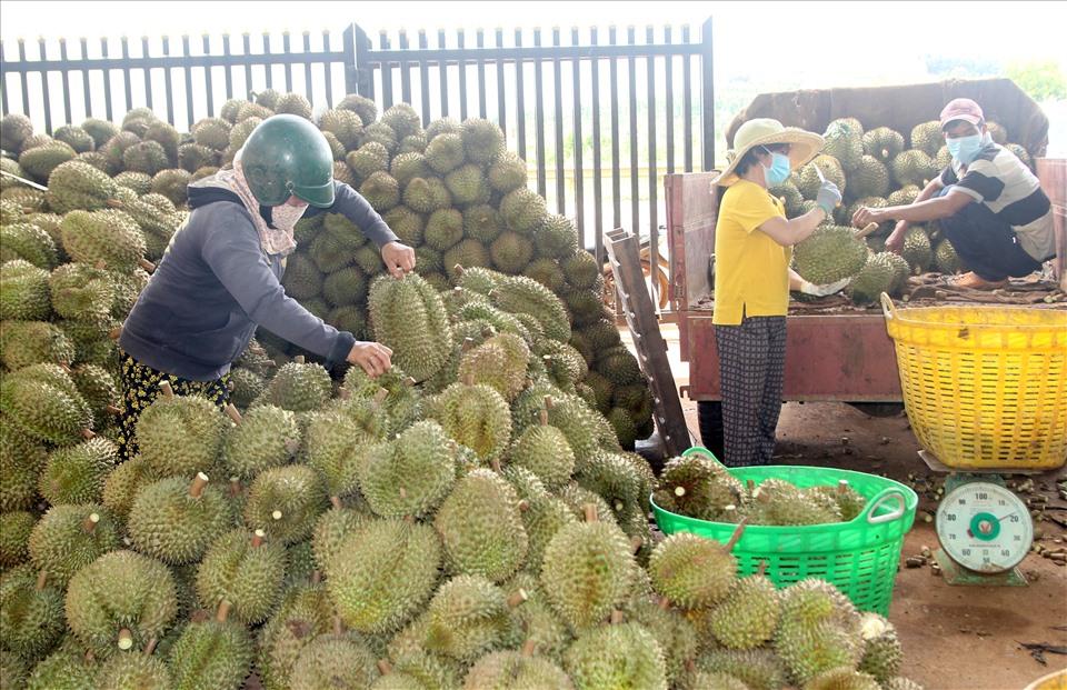 Do dịch COVID-19 nên việc vận chuyển, tiêu thụ sầu riêng ở các tỉnh Tây Nguyên đang gặp nhiều khó khăn.