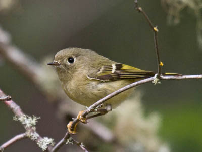 Photo of Ruby-crowned Kinglet on lichen-covered twig