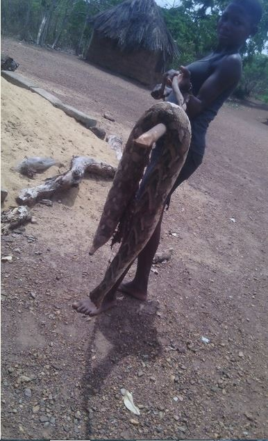 Nigerian Man Kills Heavily Pregnant Snake...See the Many Baby Snakes That Came Out of It (Photos)