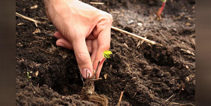 cara-menanam-stroberi-di-pekarangan-rumah