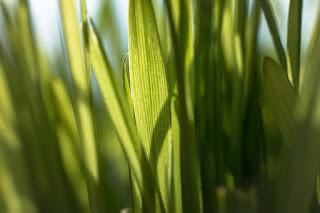 cara-menanam-rumput-gandum.jpg