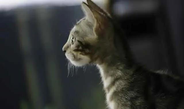 chat de bengale