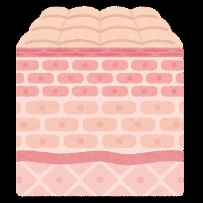 皮膚の断面のイラスト