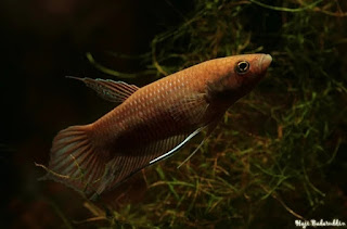 Ikan Cupang Akarensis