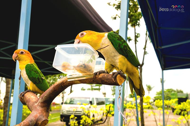 Caique parrots in Singapore
