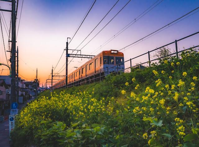 夕陽,菜の花,電車,広角
