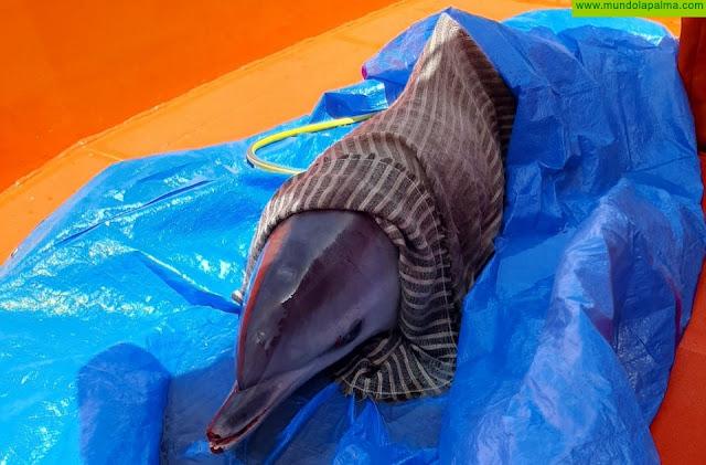 Liberan a un delfín moteado del Atlántico varado en la costa de Breña Alta