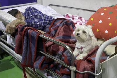 bichon maltes con anciano en terremoto italia