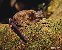 short-tailed bat Mystacina tuberculata Little Barrier Island. Photograph: Mike Thorsen
