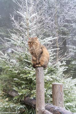 Kot sowiogórski