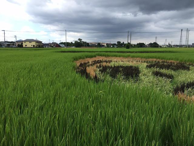 こしがや田んぼアート2015食戟のソーマ(8/23)