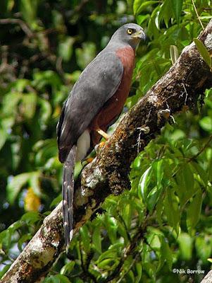 Long tailed Hawk