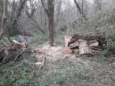 Cut through the fallen ash tree in Thornton Wood. Photo: Paul Loughnane