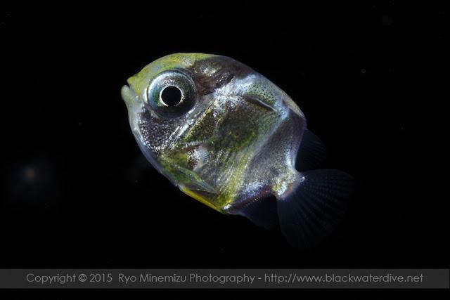 チョウチョウウオ科(Chaetodontidae)のトリクチス期稚魚
