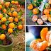 Vê como é fácil plantar tangerinas no jardim da tua casa! É muito mais fácil do que imaginas!