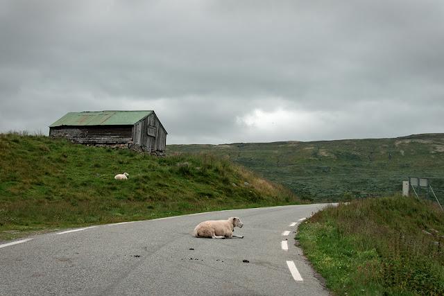 Mouton au milieu de la route