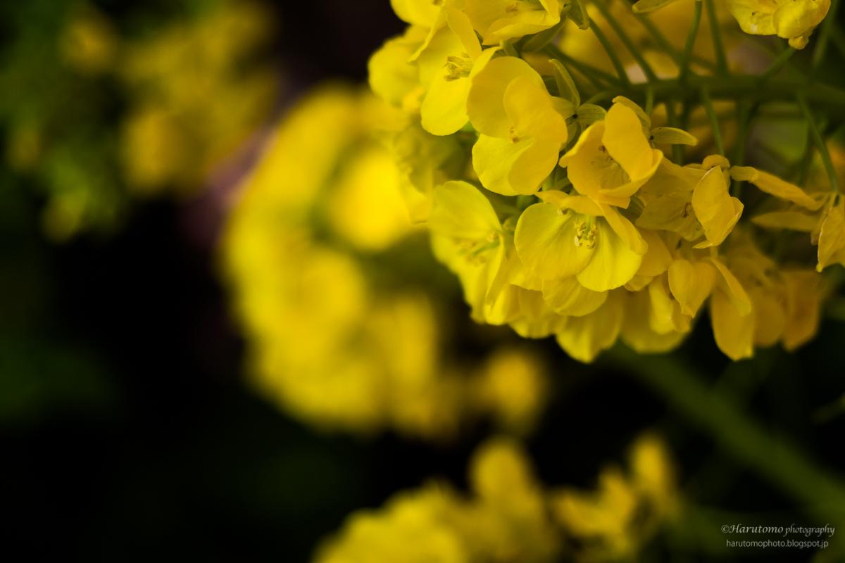 菜の花 黄色