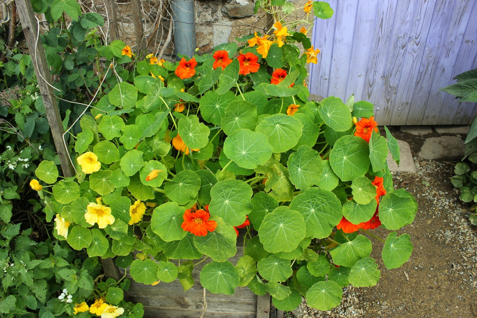 nasturtiums, a food crop in a pallet wood container