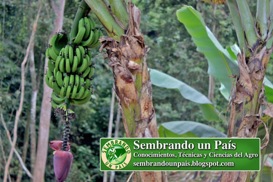 cambur o banana verde en planta