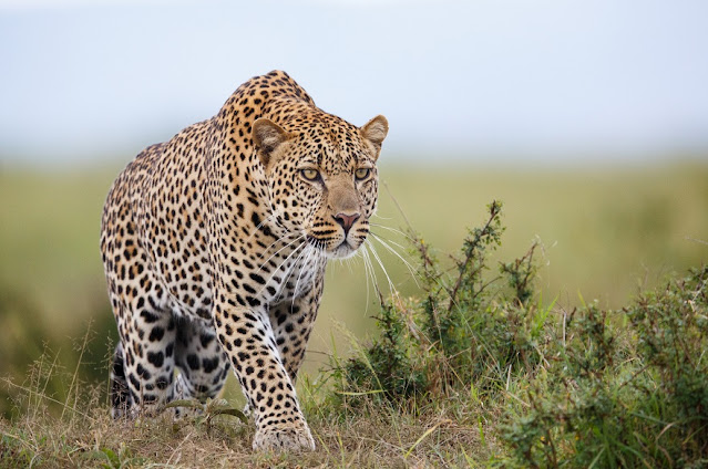 Leopards from Africa and Asia are genetically distinct, reveals DNA analysis of museum specimens