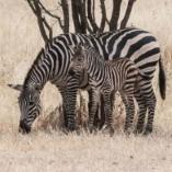 Cebras camufladas