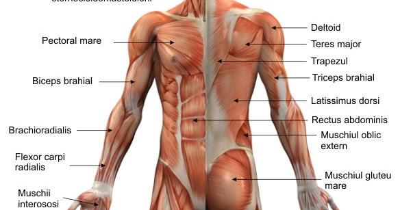 muschii coloanei vertebrale)
