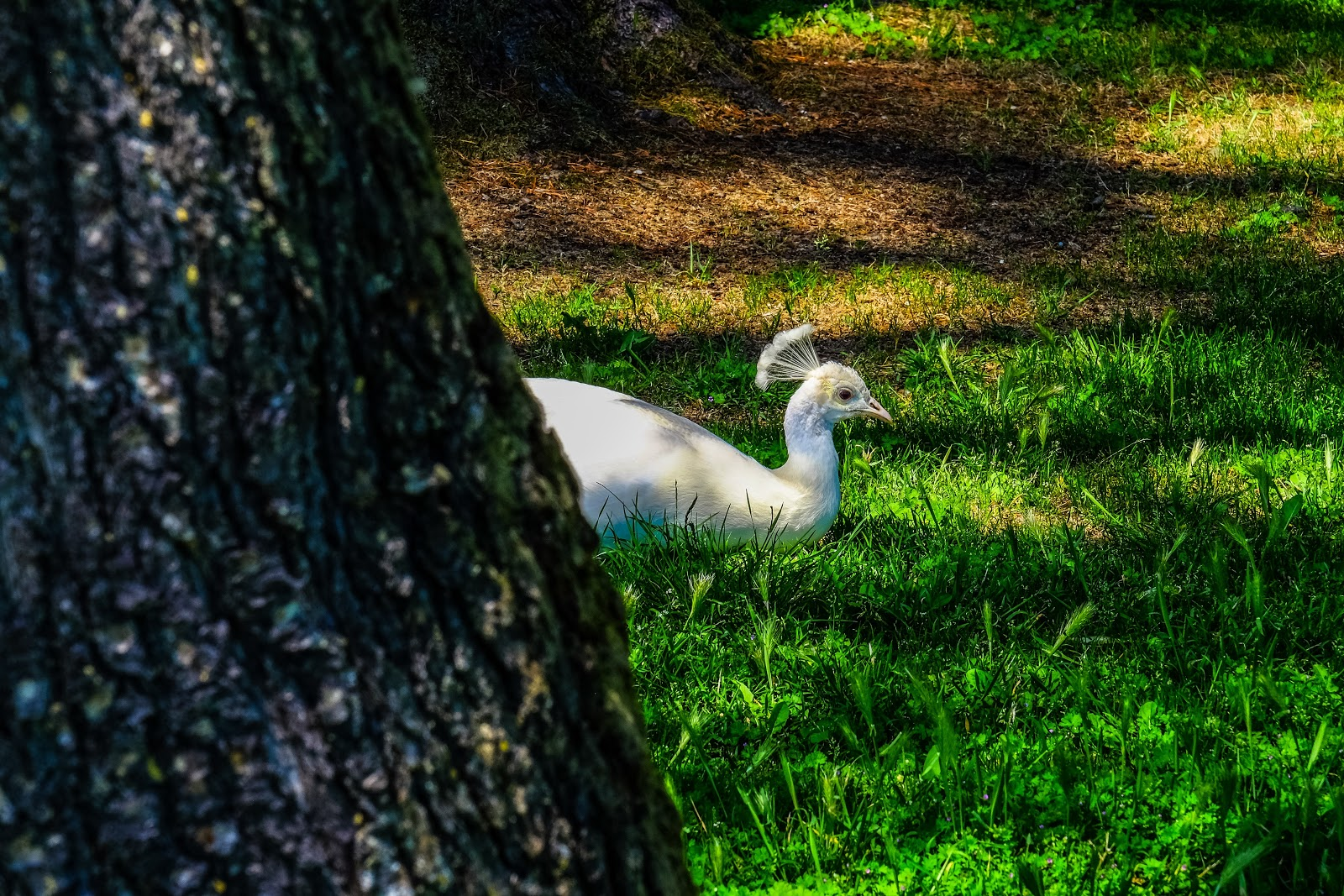 white-peacock-on-grass-pictures