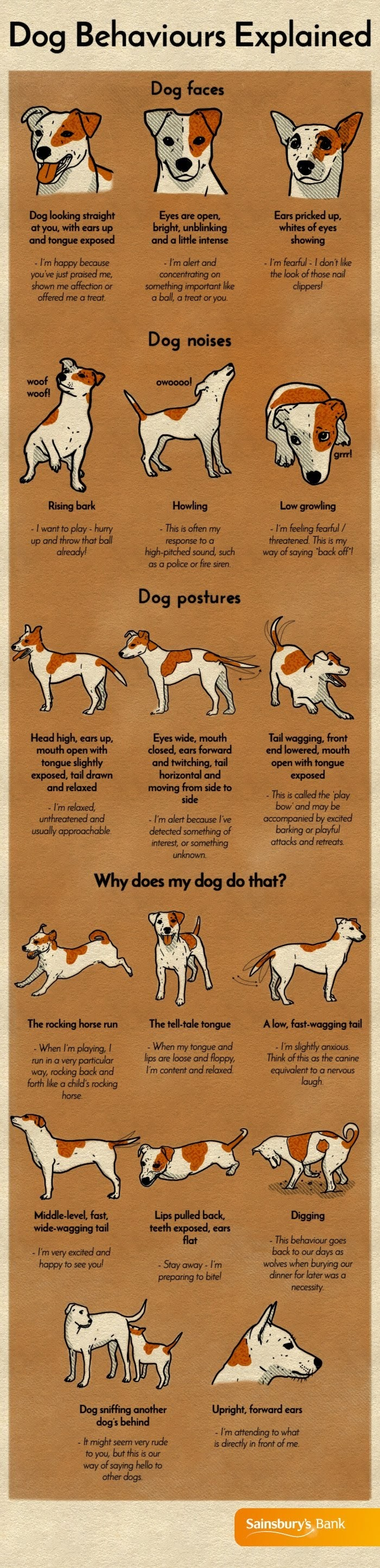 Dog behaviors Explained# infographic