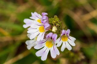 [Orobanchaceae] Euphrasia sp. – Alpine Eyebright (Eufrasia delle alpi)