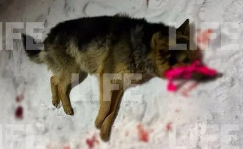 В Магнитогорске бездомную собаку выбросили с балкона многоэтажки. Живодёров ищет полиция — видео 18+