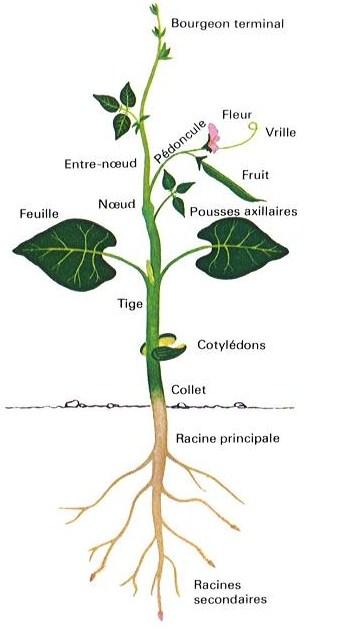 Les petites herbes l ments de botanique for Plante 4 images 1 mot