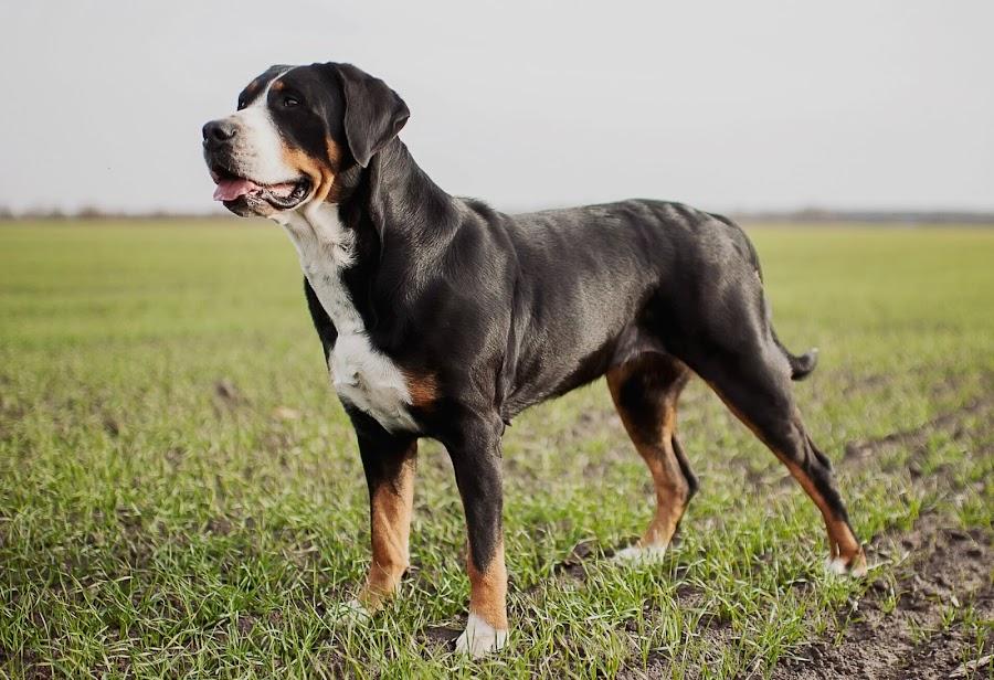 Boyero Suizo, Perros Grandes, Perros Negros