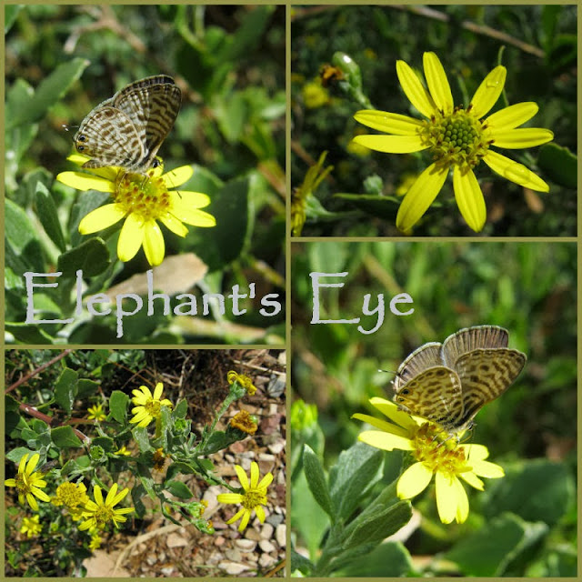 April 2011 Chrysanthemoides monilifera with common hairtail butterfly