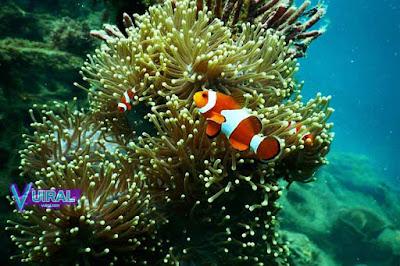 Contoh Simbiosis Mutualisme Anemon Laut Dengan Ikan Badut