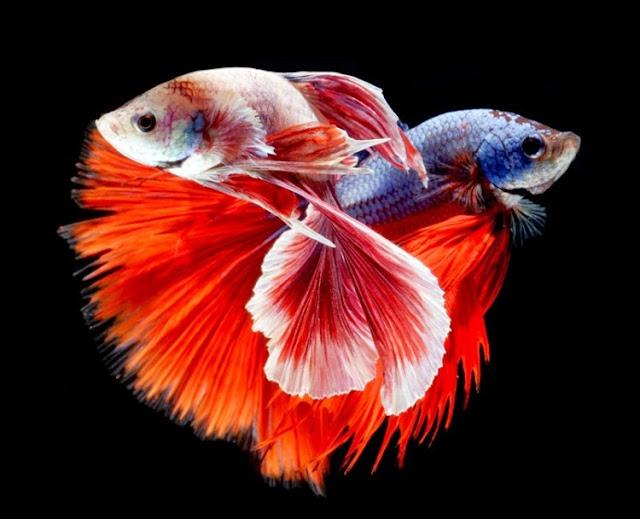 Dunia Ikan Hias - Ikan Cupang