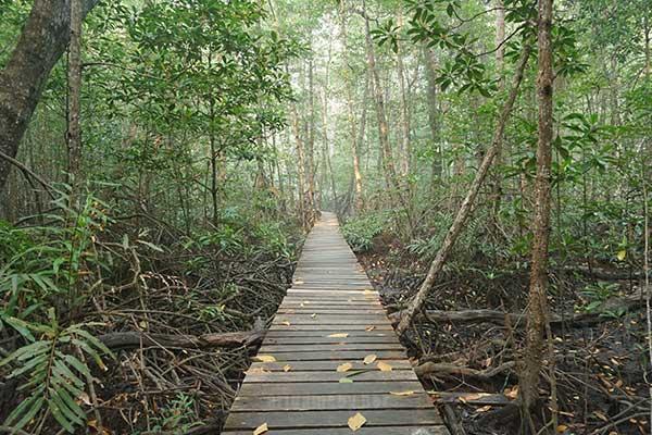 Jalur track Mangorove Beteng Batang di Pulau Dabong