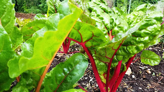close up of swiss chard in garden