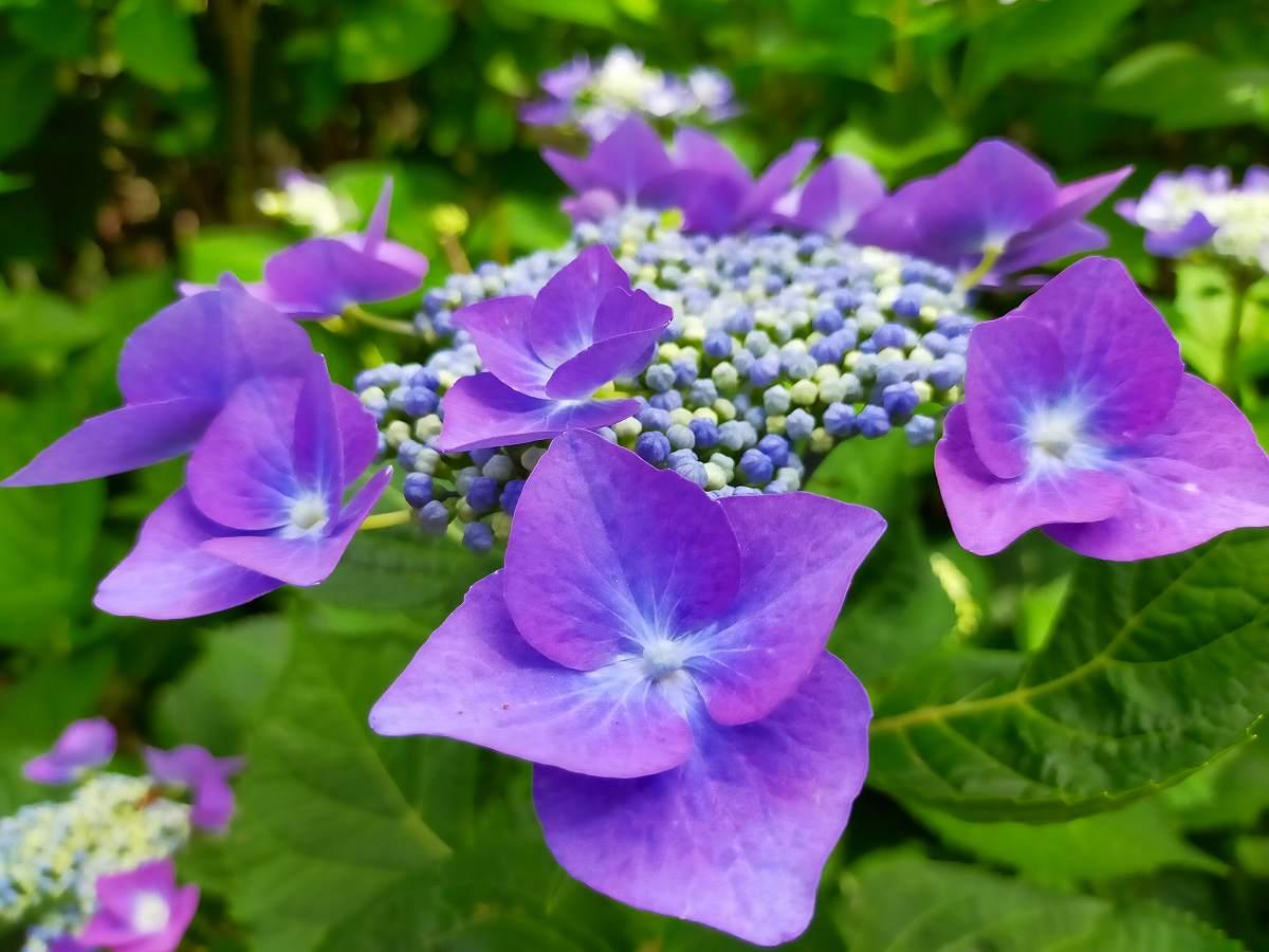 濃い紫のガクアジサイ
