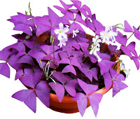 Plant with purple triangular leaves and little white flowers in a terracotta pot.PURPLE SHAMROCK (Oxalis triangularis)
