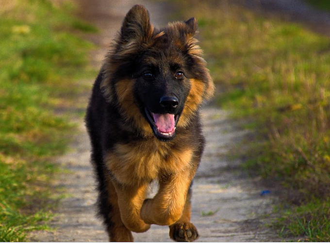 German Shepherd Puppy Price in Pune | Only Original Breed