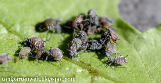 schwarze Blattläuse | Schädlinge | Pflanzen - Gartenblog Topfgartenwelt