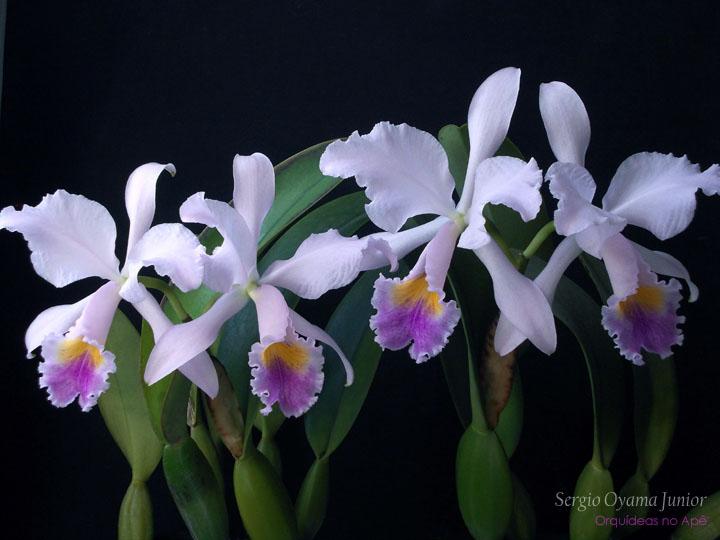 Orquídeas No Apê Orquídea Cattleya