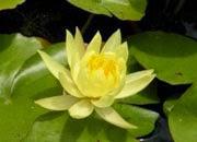 Vandens lelija Moori